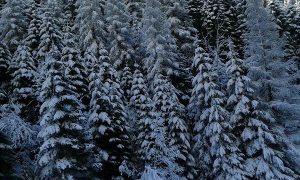 Neuschwanstein havas fenyők